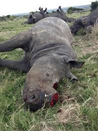 One more rhino found dead in lake Nakuru National Park,horn gorged off