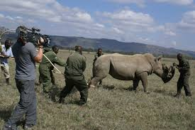 Translocation of Rhinos to Tsavo East National Park proofs tragic after  7 rhinos die