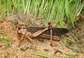 Panic for farmers as locusts sighted in Kitui and Machakos